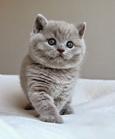 "The most popular cat breeds ever in the world and registers is the ""British Shorthair"" , it has become the most expensive cat's in the world . Totally fury and wonderful pet ."