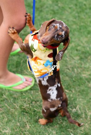 Doxie harness: 3/4 Beds, Weenie Dogs, True Colors, Doxie Color, Dapple Doxies, Doxie Harness, Camo Doxie, Wiener Dogs