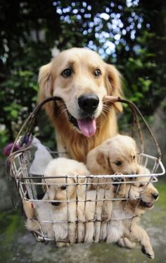 I love Goldens. They're adorable even when they're old and grey, and they have the kindest eyes I've ever seen. <3: Dogs, Happy Face, Beautiful Golden, Golden Retrievers, Photo, Friend