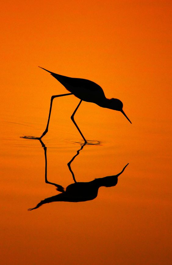 Black-Winged Stilts Silhouette... by Bhanu Kiran Botta, via 500px