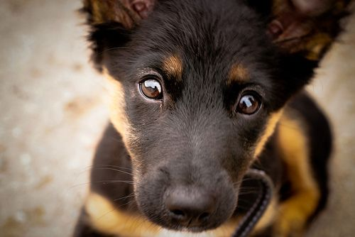 I seriously want to cuddle this puppy!  Talk about adorable...and will grow up to be a gorgeous adult dog...