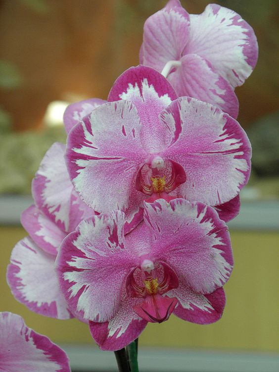 #Orchid #phalaenopsis: Orchid Orquideas, Orchidea Storczyk, Flowers Orchids, Orchids Iris Lilies, Beautiful Orchids, Orchids Ορχιδεες, Garden, Orchidee Orchids Orquideas