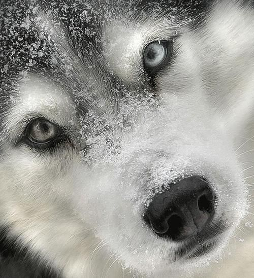 Beautiful picture!  Someone said this was a wolf, but looks like a beautiful husky face to me.: Animals, Dogs, Wolf, Beautiful, Siberian Huskies, Husky, Wolves, Photo, Eye