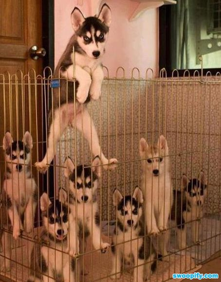 I'll take them all: Animals, Puppies, Dogs, Pets, Funny, Siberian Huskies, Husky, Puppy