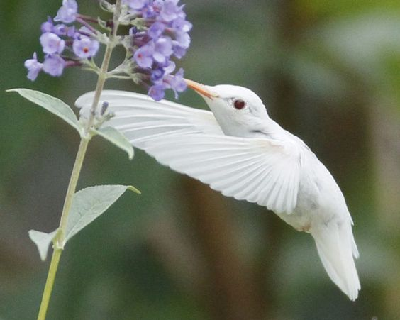 Rare albino ruby-throated hummingbird, in Staunton, Virginia ~ photographers Marlin Shank, aged 16, Shaphan Shank, 14, Darren Shank, 12 & Allen Shank, 9.  Amazing photos at the site this pic is linked to!    . . . .   ღTrish W ~ http://www.pinterest.c