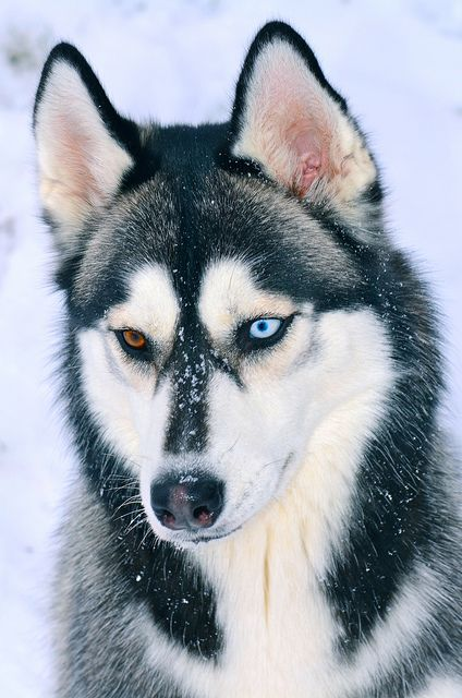 """Siberian Husky Portrait by aveh587 on Flickr. """"Onyx sure does love the snow."""""""