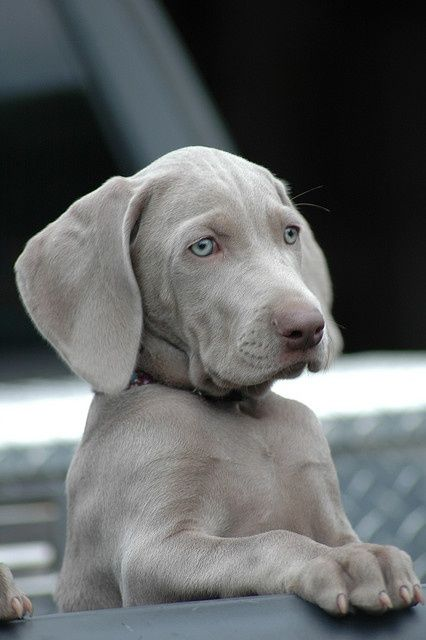 That face, the furrowed brow, those eyes, those EARS. Pure Weimy cuteness.: Animals, Dogs, Pets, Weimaraner Puppies, Weimaraner S, Friend