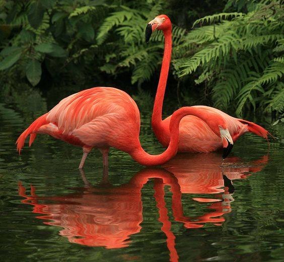 flamingos...and their reflections.  These beauties are my favorite in the bird world.: Photos, Animals, Pink Flamingos, Nature, Color, Creatures, Beautiful Birds