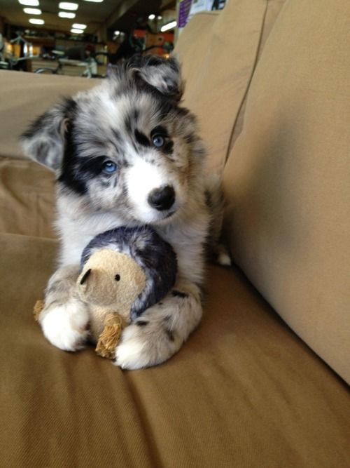 Goberian (Golden Retriever + Siberian Husky) puppy ... Sooo precious! If I ever got one of these I couldn't handle! So cute!!: Australian Shepard, Puppys, Husky, Australian Shepherd, Animal, Golden Retriever, Aussie