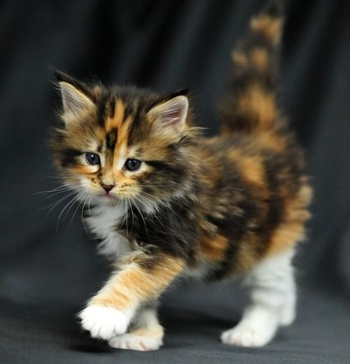 Such beautiful pastel colors on this adorable calico kitten!: Beautiful Cat, Kitty Cat, Pretty Cat, Tortoiseshell Cat, Kitty Kitty, Adorable Kitten, Cats Kittens