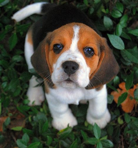 So love this Beagle pup & still missing my Beagle Buster who passed away. I have 3 other rescues but we all still miss Buster's joy & sweetness.