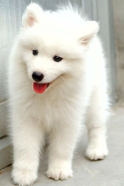 adorable eskimo pup. I had one of these dogs when I was young.  her name was fuzzy at home and her show name was Juneau.  She was a fabulous dog.  I have always missed her so much....: Doggie, Cute Animal, Samoyed Puppies, Samoyed Puppy, American Eskimo,
