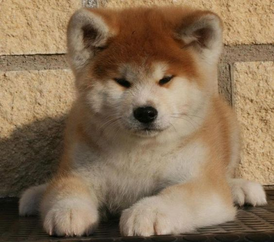 Akita Inus are the most badly behaved dogs around - owning one could even negatively affect your home insurance. | 22 Awesome Things You Didn't Know About Your Dog: Behaved Dogs, Akita Dog, Akita Inu Puppy, Akita S, Funny Animal, Awesome Things, Insur