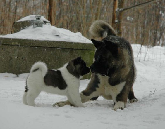 Akita Puppy & Playmate I picture this to be Akira when we finally get another Akita puppy.: Amazing Akitas, Akita Dog S, Beautiful Akitas, American Akitas, Dog Pictures, Almighty Akitas, Akita Baby, Akita Puppy16 Jpg 722
