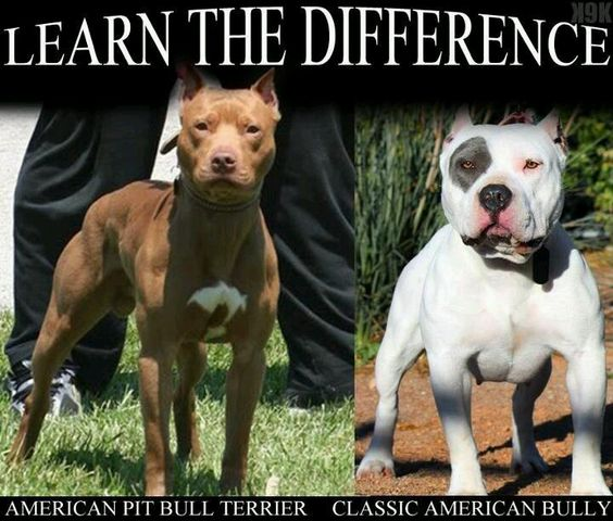 American Pit Bull Terrier vs. Classic American Bully: Bully Dog, Premiumdogfood Lovepitbulls, Pitbulls Bullies, Pitbulls Americanbully, Pit Bull, Animals Pitbulls, Bully Breed, Bulldog Bullybreeds