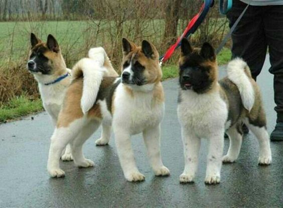 "Click visit site and Check out Best ""Akita Dog"" T-Shirts & Hoodies. This website is excellent.  Tip: You can type ""your first name"" or ""your favorite shirts""  by using search bar on the header.   #akita: Bout Akitas, Akitas Kum"
