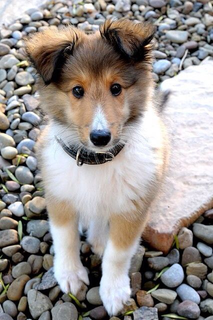 Collie puppy! Pam and Pete are getting on a waiting list for one of these sweet nuggets!: Sheltie Puppy, Rough Collie, Collie Dog, Shetland Sheepdog, Puppys, Dogs Puppies, Cute Dog, Collie Puppies