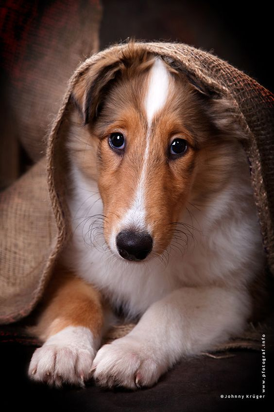 Collie puppy: Puppy Dogs, Rough Collie, Collies Puppies, Dogs Puppies, Pets Collies, Collie Puppy, Collie Puppies