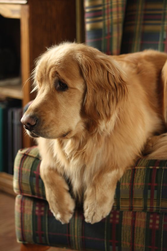 Golden Retriever dog art portraits, photographs, information and just plain fun. Also see how artist Kline draws his dog art from only words at drawDOGS.com #drawDOGS http://drawdogs.com/product/dog-art/golden-retriever-dog-portrait-by-stephen-kline/: Ret