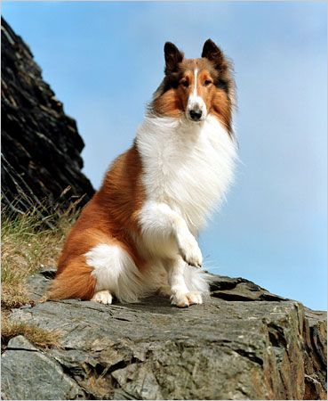 History's Famous Dogs | Ark Animal Centre: Rough Collie, Childhood Memories, Collie Dog, Lassie Loved, Famous Animals, Famous Dogs In Movies, Beautiful Dogs