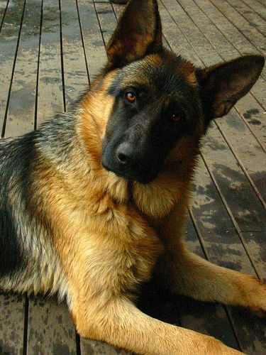 I don't know what other category to put this under. I do know that if I show this to T, we'll have a new puppy within the week. LOL.: German Shepherd Dogs, Beautiful Gsd, Expressive Dogs, German Shepherd Puppies, German Shepherds, Dogs German, Ger