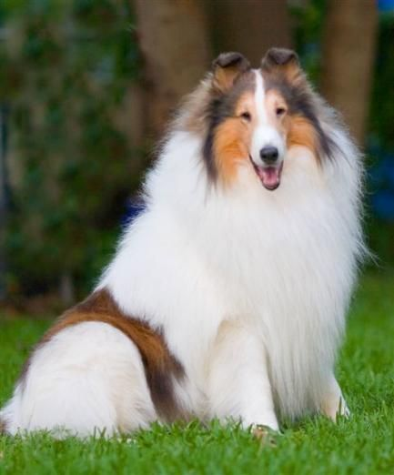 I will always have a special place in my heart for white collies.: Rough Collie, Border Collie, Animals Dogs, Collie Dog, Dogs Collies, White Collie, Beautiful Collie, Beautiful Dogs