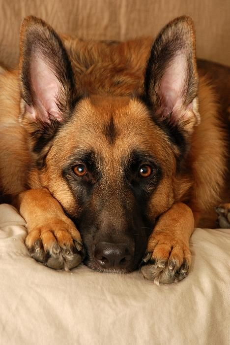 loyal friend. When I get a job I'm saving for a German shepherd :): German Shepherd Dogs, Germanshepherds Facebook, German Shepards, German Shepherds, Pets Germanshepherds, Gsd, German Shephard