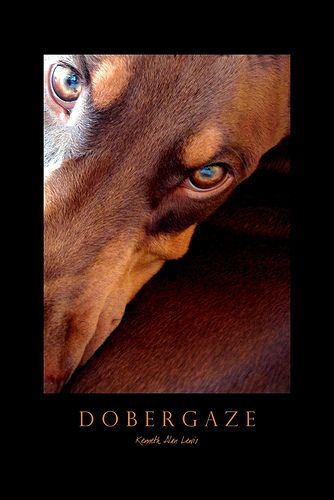 Maddison I was just getting ready to send this to you when I saw your name! That look is what scares a lot of people!: Dobermann Puppies, Doberman Love, Doberman Dogs, Era, Beautiful Doberman, Doberman S, Dobermann Shirts