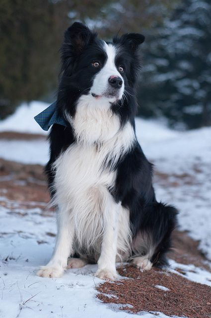 "My beautiful Border Collie boy New Gold Box Zion ""Toby""..Love him!!: Border Collie Puppy, Coolpetz Dog, Animal Faces, Animals Dogs, Collie Dog, Animal Dogs"