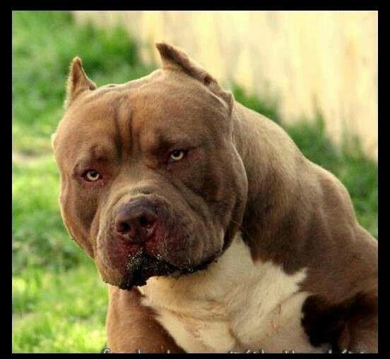 not scary, cute and fragile. fight for the pittys so they dont hav to.  My Love American Bully :): Pitt Bull, Bully Dog, Pitbulls Americanbully, Pitbulls Animals, Pit Bull, Animals Pitbulls, Bully Pit