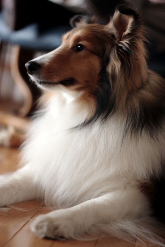 sheltie - that face when they are hanging on EVERY word you are saying. even though they may not understand it all!!: Rough Collies, Collies Sugarbear, Collies Shelties, Brave Sheltie, Gorgeous Sheltie, Animal, Sheltie Beautiful