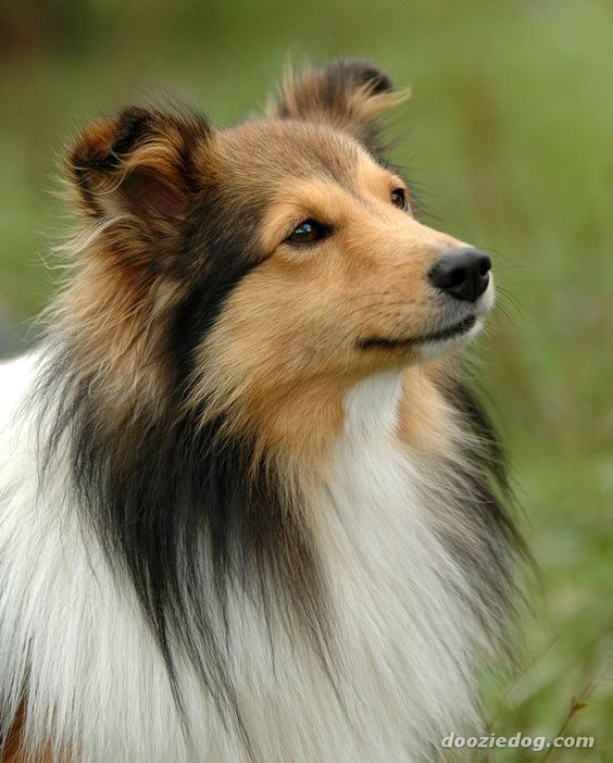 Shetland Sheepdog. Although they look a bit like miniature Collies, Shelties are actually a distinct breed. Originally developed as herding dogs on the Shetland Islands, they are now popular as pets and as working dogs on small farms. They are highly inte