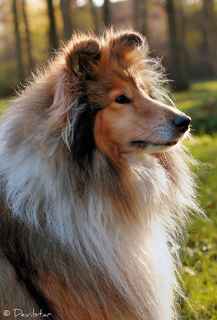 Shetland Sheepdog art portraits, photographs, information and just plain fun. Also see how artist Kline draws his dog art from only words at drawDOGS.com #drawDOGS http://drawdogs.com/product/dog-art/shetland-sheepdog-dog-portrait-by-stephen-kline/ He als