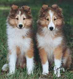shetland sheepdogs. the most loyal friend. <3 you ginger
