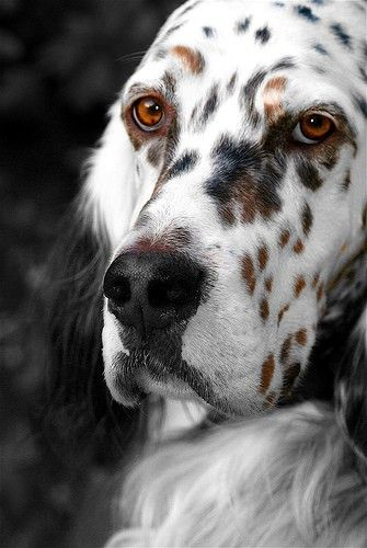 """The English Setter. From the best available information, it appears that the English Setter was a trained bird dog in England more than 400 years ago. They're temperament is best described as a """"Gentleman by Nature"""". However, it can also be st"""