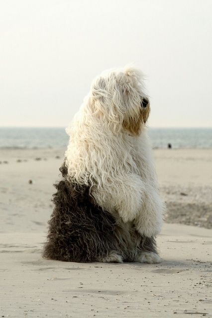 ::There was a dog like this that would meet me & some other kids on the playground at recess in grade school. A very good memory. ~A: Big Guy, Sheep Dogs, Old English Sheepdog, Little Mermaid, The Beach, Man