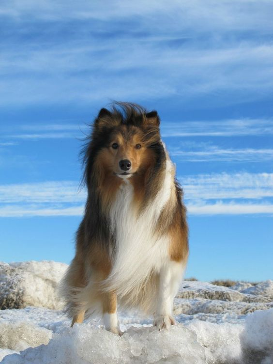 Yatzy the four year old shetland sheepdog: Sheepdog Yatzy, Puppies Dogs, Sheepdog Beautiful, Dogs Puppies, Shetland Sheepdogs Shelties, Beautiful Shelties, Beautiful Dogs