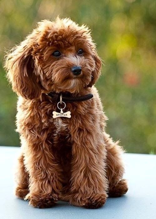7 Best Dog Breeds That Can Help You Fight Anxiety: Doggie, Dogs, Pet, Puppy, Cavalier King Charles, Poodle Mix, King Charles Spaniels, Animal