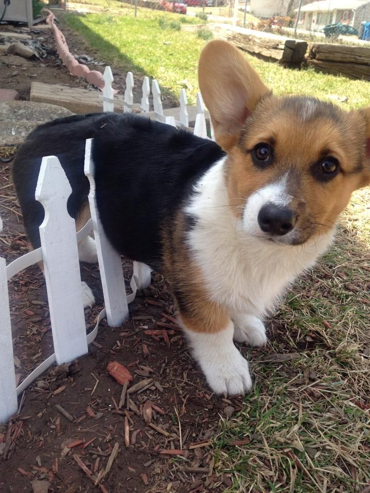 Awwwww!! ;) Never leave your puppy alone, or they will try  to escape, but eventually just get stuck..: Corgis, Fence, Animals, Dogs, Pet, Funny Corgi, Stuck, Puppy, Box