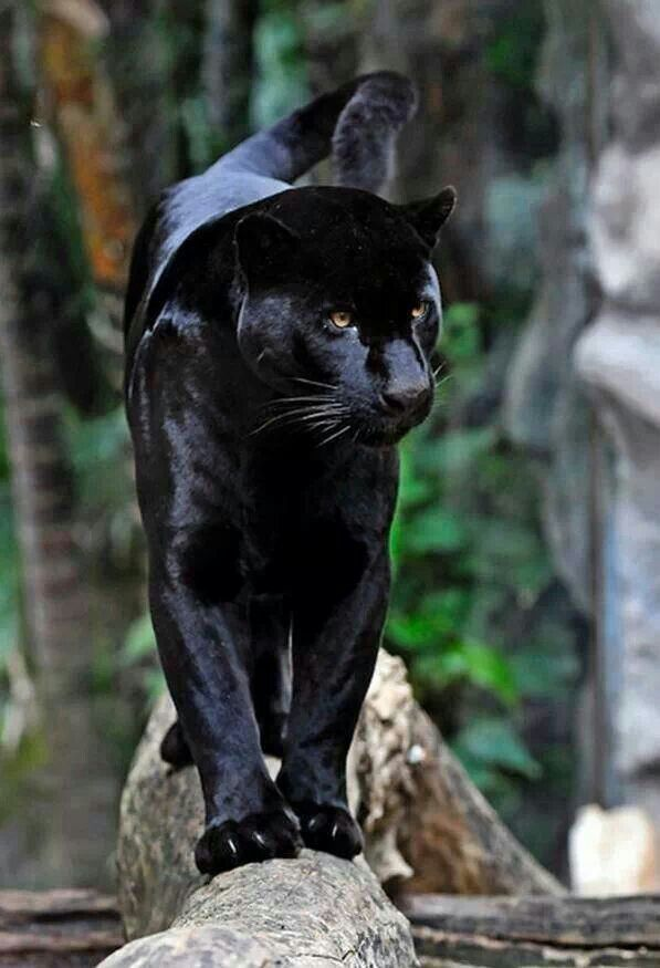 Beautiful black panther: Big Cats, Animals, Google, Animal ...