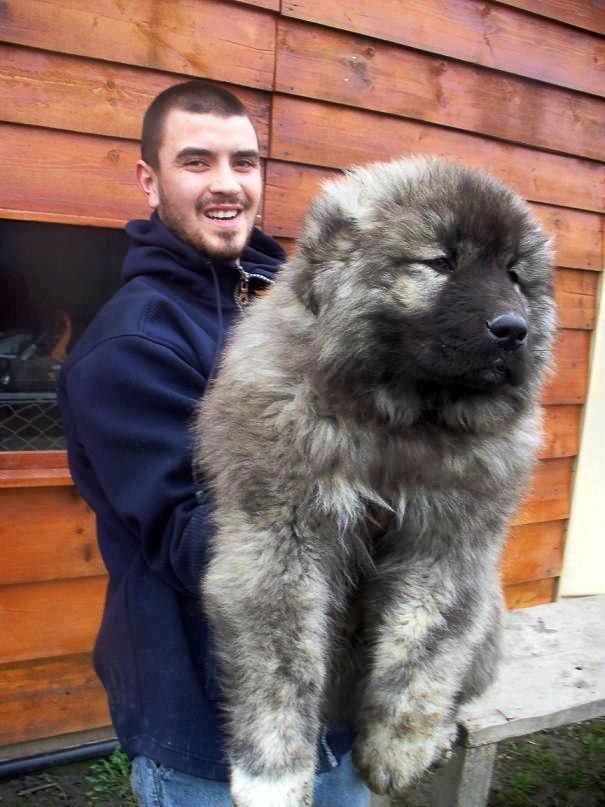 Caucasian ovacharka, Russian Mountain Dog. I want this its a bear dog. I want a bear dog: Animals, Pets, Puppys, Caucasian Shepherd, Big Dogs