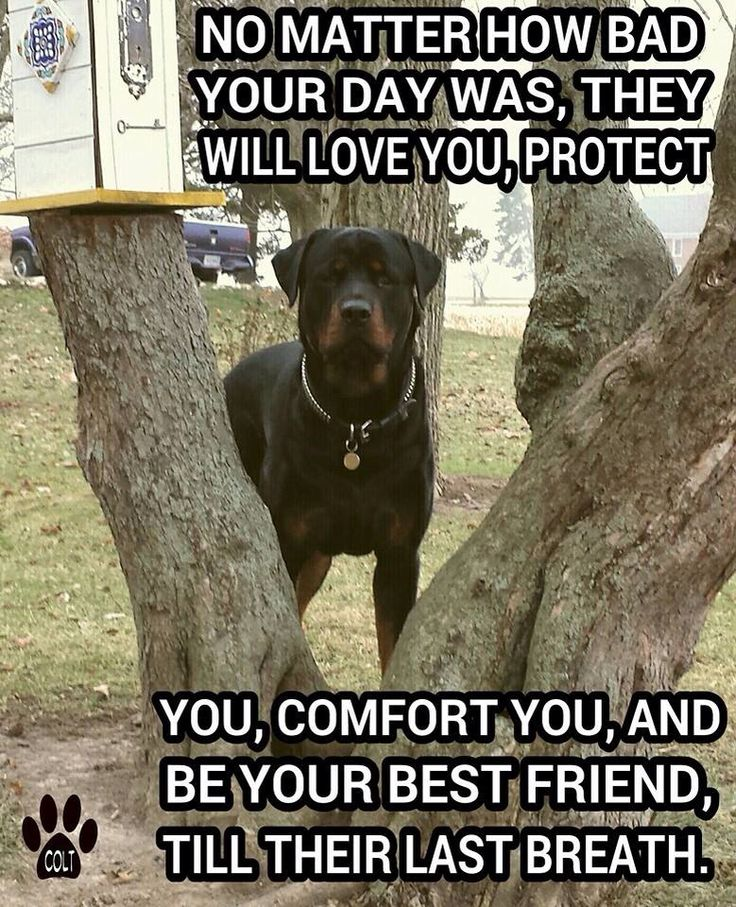 "Click visit site and Check out Best ""Rottweiler"" T-shirts. This website is outstanding.  Tip: You can search ""your name"" or ""your favorite shirts"" at search bar on the top.: Rotties Bullies, Rottweilers, Animals, Rotties Dogs, Frie"