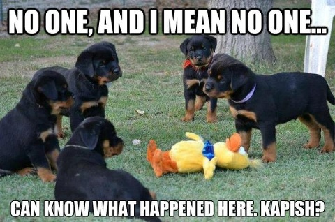 #Cute #Rottweiler #Puppies Free tips to train your Rottweiler  http://tipsfordogs.info/90dogtrainingtips/: Animals, Dogs, Rottie, Pet, Funny Stuff, Funnies, Puppy, Funny Animal, Rottweiler