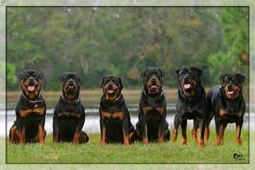 Giant Rottweilers | nickicat's Page - PetBrags Pet Lovers Paradise: Pet Community for All ...: Rottweilers, Animals, Dogs, Pets, Security System, Rottweiler S