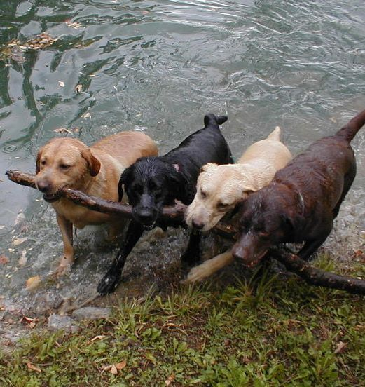 I threw 4 different sticks. They all came back with the same one. Carrying it back to me using teamwork!: Funny Animals, Labrador Retriever, Babies, Teamwork, Chocolate Labs, Dogsareawesome Funny, Lab Friends, Animals 3