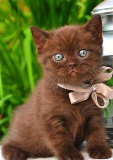 I've not see many chocolate coloured kitties and this one is totally adorable.: Cats, Animals, Kitty Cat, Chocolates, Pet, Kittens, Chocolate Kitty, Eye