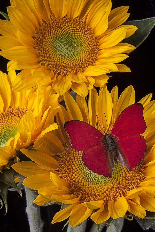 Red buttefly and three sunflowers: Beautiful Butterflies, Red Buttefly, Nature, Red Butterfly, Sun Flower, Garden