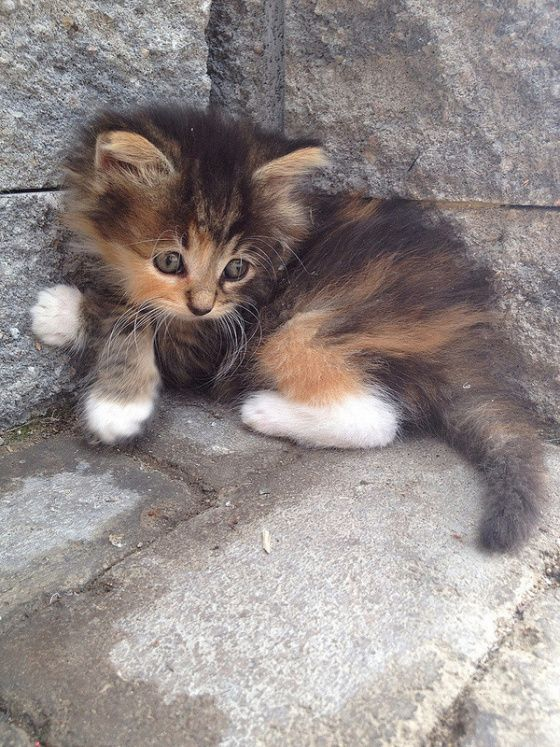 Sweet kitty: Cats, Animals, Kitty Cat, Pet, Adorable Kittens, Kitty Kitty, Calico Cat