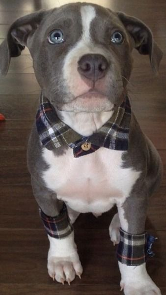 This pit bull puppy has flannel accessories. He wins all the things.: Cute Pit Bull, Blue Pit Bull, Blue Pitbull, Blue Flannel Outfit, Pitbull Puppy, Animal