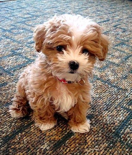 What a furry bundle of LOVE Top 5 Dog breeds that don't Shed: Cute Puppies And Dogs, Cute Dogs And Puppies, Cavapoo Puppies, Dogs Puppies, Puppys, Pets Dogs Breeds, Baby, Dog Breeds, Animal